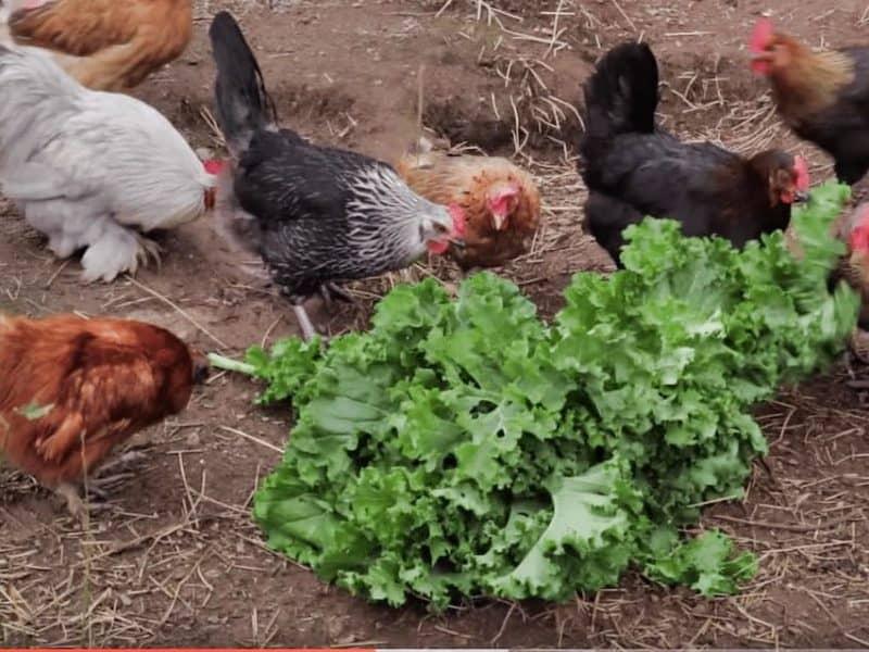 reko-chicken-video